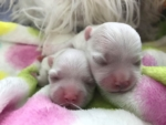 Mamy maluszki – We have puppies ! Born 12.04.2018